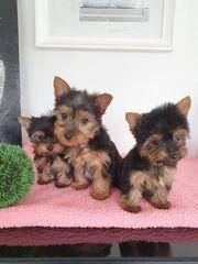 Yorkshire Zwerg Yorkshire Terrier Babys