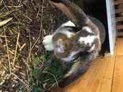 Deutsches Widder-Mischlings-Kaninchen