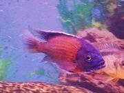 Malawi Barsch Kadongo Red fin