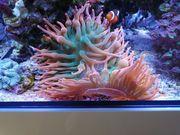 Meerwasser Anemone Sunburst Koralle Ableger