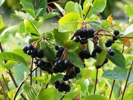 5 Stück Aronia-Pflanzen