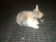 Kleine Zwerge Kaninchen suchen dich