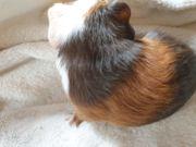 Meerschweinchen Böckchen 4 Wochen alt