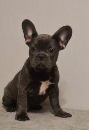 französische bulldogge welpen-blau