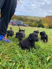 Labrador-Mixwelpen