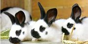 Kaninchen reinrassige Scheckenhäschen suchen ein