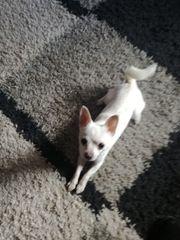 Sehr schöner weißer mini Chihuahua