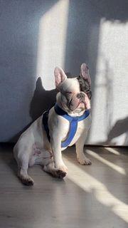 französische Bulldogge ab sofort zu