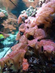 Meerwasser -- Kupferannemonen