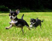 Aktives fröhliches Familien Chihuahua Mädels
