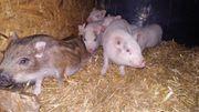 Mini - Schweine