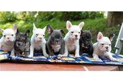 Bischon Gechipt Babys Französische Bulldogge
