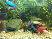 4 Hübsche Kampffischweibchen 7 Monate