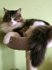 Maine Coon Deckkater Charly