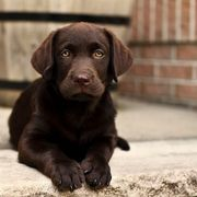 Prächtige Labrador Welpen