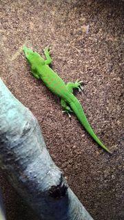 Weibchen Phelsuma Grandis Madagaskar Taggecko