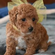 Maltipoo Welpen in Apricot Akoo