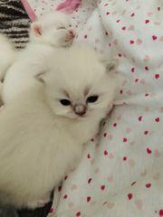 Scottish Fold BKH Kitten