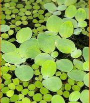 Junge Muschelblume Aquarium Schwimmpflanze Wasserrose