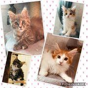 Supersüße Maine Coon Kitten Katzen