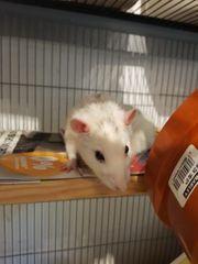 3 Ratten jungs suchen ein