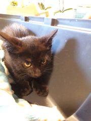 Schwarzes Katzenmädchen sucht liebevolles zu
