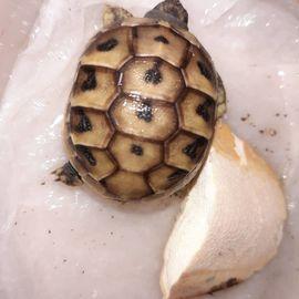 5 Griechische Landschildkröten THB adult: Kleinanzeigen aus Salach - Rubrik Reptilien, Terraristik