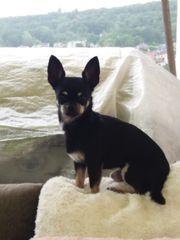 super Deckrüde Chihuahua