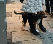 wunderschöner Beagle-Mischling