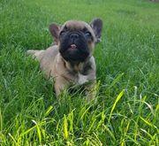 Weibchen Welpe Französische Bulldogge