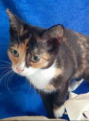 Baby Katze Glückskatze Kitten Tricolor