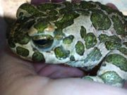 Wechselkröte Erdkröte und Knoblauchkröte