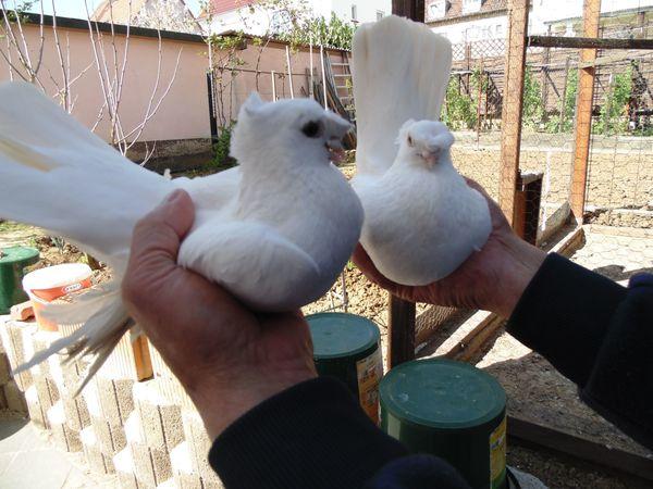 Usbekische Tauben verschiedene Farben