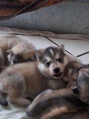 Süße Schäferhund Mischlingswelpen