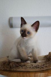 Siamkitten Kitten Siam Siam-Kitten Siam-Ragdollkitten