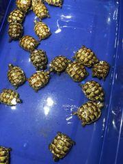 maurische Landschildkrötenbabys