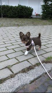 Chihuahua sucht Traum zuhause