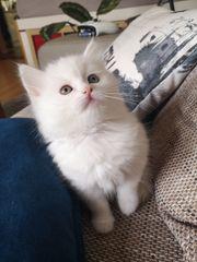 Perserkatze Angora weisse Katzen Kitten