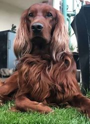 Charmanter Deckrüde Rüde Irish Setter