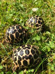 Sternschildkröte Nachzuchten