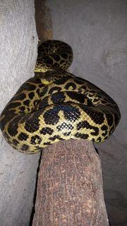 Gelbe anaconda Zuchtpaar