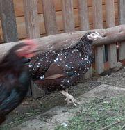 Zwerg-Sussex Hühner 1 2 abzugeben