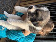 Wunderschöne Herdenschutzhund Welpen