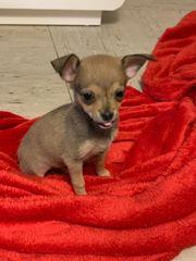 Mini Mini Mini Chihuahua Pinscher