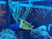 kuhkopf kofferfisch Meerwasser