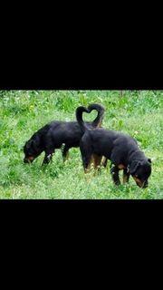 reinrassige Rottweiler Rüde