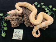 Bestandsaufgabe Boa constrictor imperator vpi
