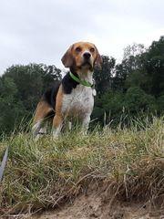 Beagle Deckrüden kein Verkauf