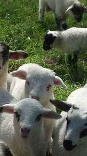 Schafe und Lämmer -