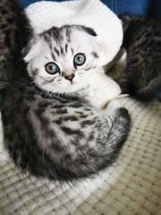Scottish Fold Katze Reserviert